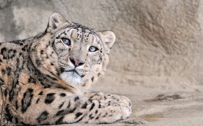 Tibetan Buddhist Monks Attempt to Help Save Dwindling Snow Leopard Population