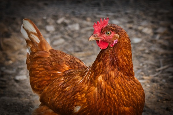 Attorneys File Case Against Jewish Leaders to Save Chickens from Jewish Atonement Ritual