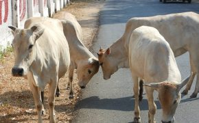 Cow Ban in India Faces Backlash for Restricting Religious Freedom