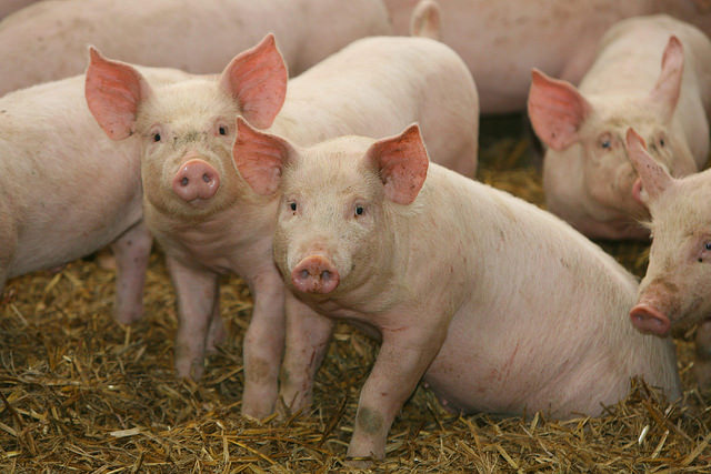 Rabbi Shocks With Unparalleled Approval of Cloned Pigs As Kosher