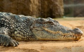 Crocodile Kills Pastor During Baptism